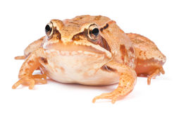 Frog. Royalty Free Stock Images