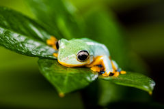 Frog on exotic leaf in the real jungle Stock Images