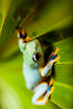 Frog on exotic leaf in the real jungle Stock Photography