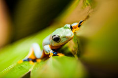 Frog on exotic leaf in the real jungle Royalty Free Stock Photos