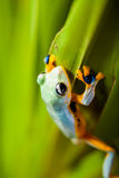 Frog on exotic leaf in the real jungle Stock Photo