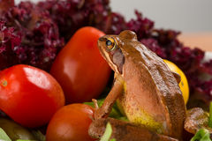Frog exploring a plate of salad. It´s a spring frog (Rana dalmatina). Stock Images