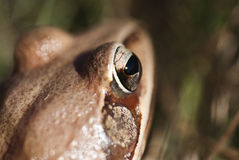 Frog - eye - detail. Frog - small animal with smooth skin and long legs that are used for jumping. Frogs live in or near water Stock Image