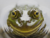 Frog eye Royalty Free Stock Image