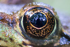 Frog eye royalty free stock image