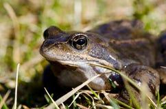 Frog eye macro closeup of wet amphibian animal. Between grass Stock Image