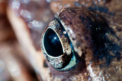 Frog eye macro Stock Photo