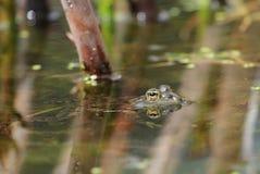 Frog eye Royalty Free Stock Photos