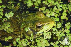 Frog Eyes 1. Bullfrog sitting in a pond royalty free stock photography