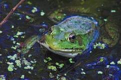 Frog Eyes 2. Bullfrog sitting in a swamp Royalty Free Stock Image