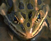 Frog Eyes Royalty Free Stock Photography