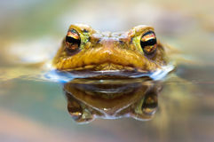 Frog Eyes (Bufo bufo) Stock Photos