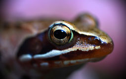 Frog eyes Stock Photography
