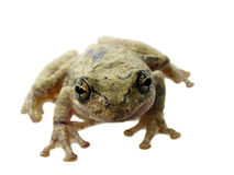 Frog face. Tree frog isolated on white background with shallow depth of field stock photo