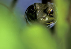 Frog face. Frog through vegitation Royalty Free Stock Photography