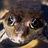 The frog face in the watter Stock Photo