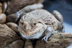 Frog in farm Royalty Free Stock Photography