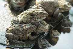 Frog farming Stock Photos