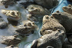 Frog farming of agriculturist in Thailand Stock Photo
