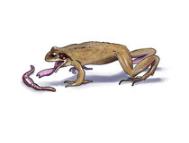 Frog feeding Stock Image