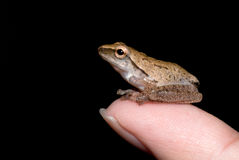 Frog on finger Stock Photography