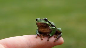 Frog on finger Royalty Free Stock Photography