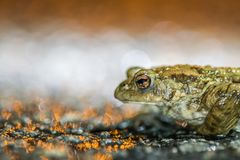 common frog with beautifull light Royalty Free Stock Image