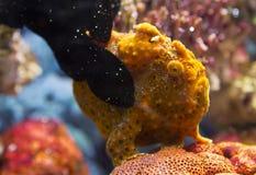 Frog fish and coral Antennarius multiocellatus Stock Photos