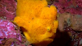 A frog fish. A yellow frog fish is looking at you stock video
