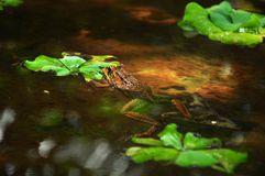 Frog floating at garden pool Stock Photography