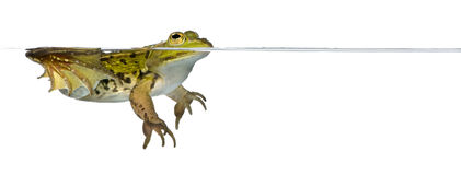Frog Floating In Water Against White Background