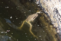 The frog floating in a muddy pond Royalty Free Stock Photo