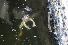 The frog floating in a muddy pond Royalty Free Stock Images