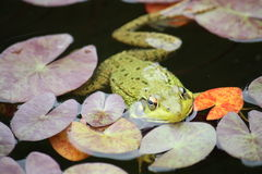 Frog floating in pond Stock Photography
