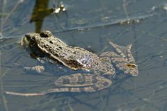 The frog makes sounds on the water surface during mating. Frog floating on pond surface close up detail stock image