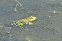 The frog makes sounds on the water surface during mating. Frog floating on pond surface close up detail royalty free stock photos