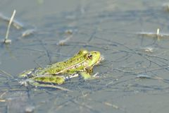 The frog makes sounds on the water surface during mating. Frog floating on pond surface close up detail stock photo