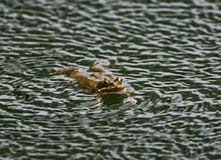 Frog floating on the surface of water Royalty Free Stock Images