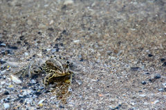 Frog floating on the water. photo Royalty Free Stock Photography