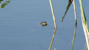 Frog floats. A frog floats in the lake on a summer day stock video footage