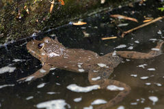 Frog floats in water canal Royalty Free Stock Images