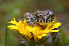 Frog on the flower Royalty Free Stock Photography
