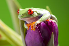 Frog on flower Royalty Free Stock Photo