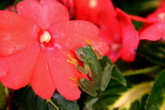Frog in a flower. Green frog in a red flower Stock Photos
