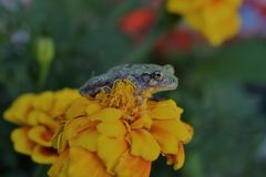 Frog on flower. A green brown tree frog is sitting on a beautiful flower trying to camoflauge Royalty Free Stock Photo