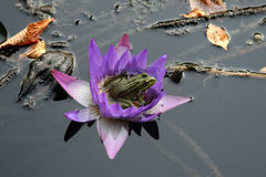 Frog on  flower Royalty Free Stock Image