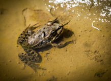 Frog with fly in water. Puddle stock photos
