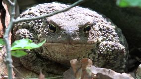 Frog in Forest Closeup, Toad Sunbathing in Leaves,  Animals Macro View in Wood.  stock video footage