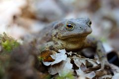 Frog in a forest floor full of dried leaves. Close up, sitting in shade. royalty free stock images