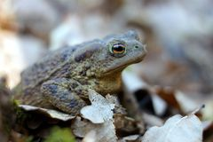 Frog in a forest floor full of dried leaves. Close up, sitting in shade. royalty free stock photo